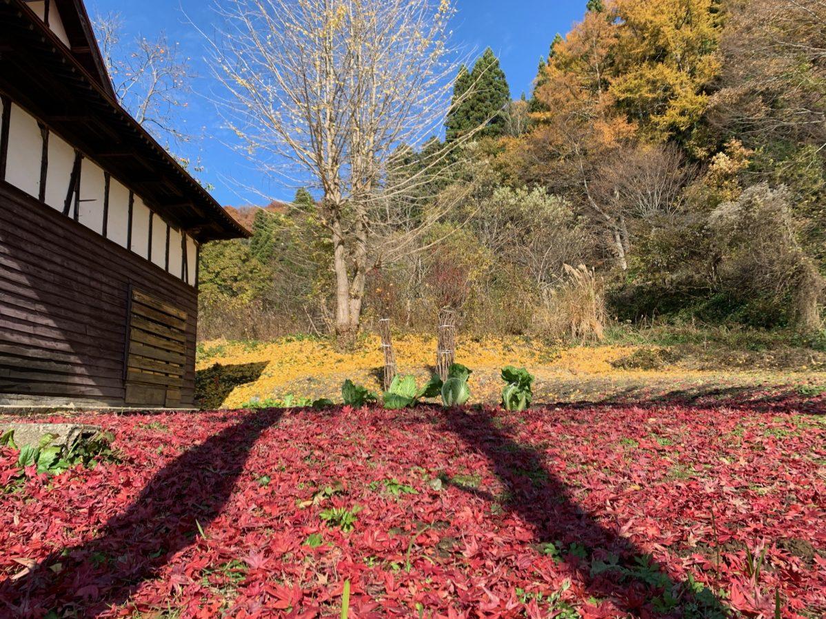 庭のイロハモミジ紅葉