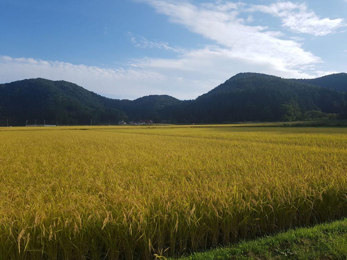 古海地区のゴールドに輝く秋の田んぼ